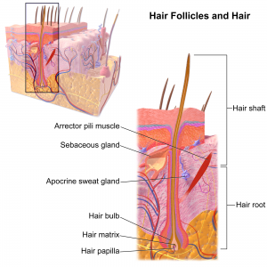 Hair_Follicle